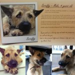 Dog for Adoption – Scruffy