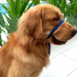 Gentle Leader fitted on our Golden Retriever, Duke